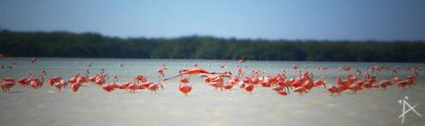 Flamingos im Bioreservat Celestún auf der Halbinsel Yucatan in Mexiko - (copyright: planätive)