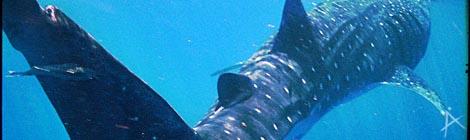 Walhaitauchen vor der Küste Cancúns in Mexio - © Planätive