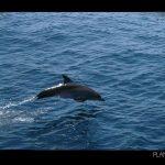 Walhaitauchen und Delphine vor der Küste Cancúns in Mexio - © Planätive