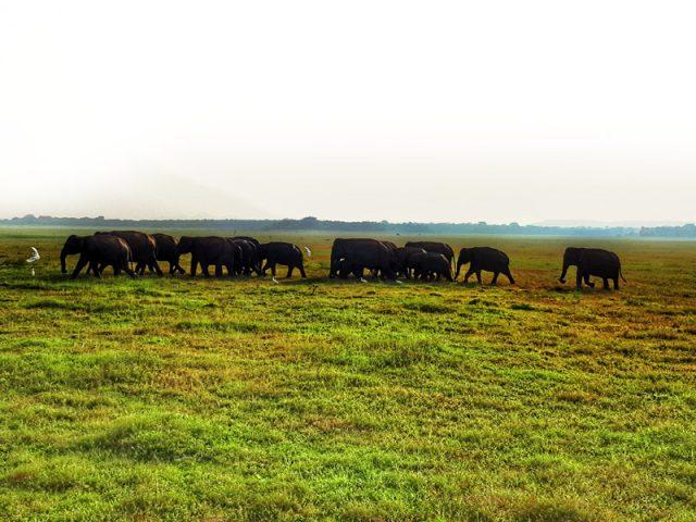 Elefanten im Kaudulla Nationalpark, Sri Lanka als Alternative zu Minneriya.